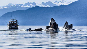 Humpback whales (Megaptera novangliaea) pod engaged in social foraging by herding herring and other fish with bubble net feeding, with boat of tourists watching, Chatham Strait, Alaska, USA July.  -  Tony Wu