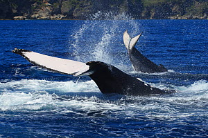Humpback whale (Megaptera novaeangliae) adult female  engaged in tail slapping with her calf, Vava'u. Tonga, South Pacific The calf is slapping its fluke in the normal manner, with ventral side down,...  -  Tony Wu