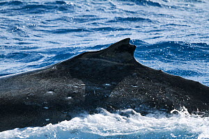 Humpback whale (Megaptera novangliaea) with split dorsal fin and bump at front, making identification easy for this individual, Vava'u, Tonga, South Pacific  -  Tony Wu