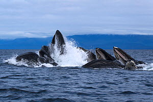 Humpback whales (Megaptera novangliaea) pod engaged in social foraging by herding herring and other fish with bubble net feeding technique, Chatham Strait, Alaska, USA July.  -  Tony Wu