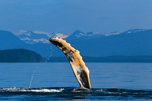 Humpback whale (Megaptera novaeangliae) juvenile playing by raising and slapping its pectoral fin, with snow-capped mountains visible in the background, Chatham Strait, Alaska, USA July  -  Tony Wu