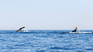 Southern hemisphere humpback whales (Megaptera novaeangliae australis) two engaged in tail slapping together, female on left, male on right, the pair was travelling north in winter, South Africa.  -  Tony Wu