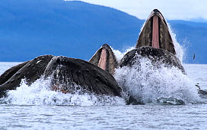 Humpback whales (Megaptera novaeangliae) bubble net feeding with mouths open at surface, example of cooperative hunting, Chatham Strait, Alaska, USA July  -  Tony Wu