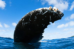 Humpback whale (Megaptera novaeangliae) close up of adult female fluke, she had the unusual habit of resting upside-down, with the ventral surface of her fluke to the sky, Vava�u, Tonga, South Pacific  -  Tony Wu