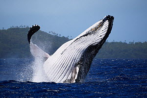 Humpback whale (Megaptera novaeangliae) male breaching in front of Hunga island in Vava'u, Tonga, South Pacific - Tony Wu