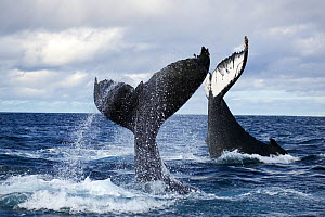 Humpback whales (Megaptera novangliaea) unusual scene with two adults tail-slapping together in rough seas, Vava'u, Tonga, South Pacific  -  Tony Wu