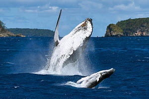 Humpback whale (Megaptera novaeangliae) female breaching together with her male calf. The calf had a large wound on his left peduncle area, one that appeared to be the result of a large bite, Vava'u,... - Tony Wu