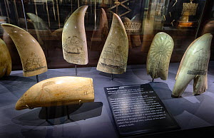 Sperm whale (Physeter macrocephalus) tooth scrimshaws on display at the Nantucket Whaling Museum, Massachusetts, USA  -  Tony Wu