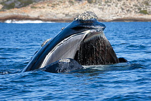 Southern right whale (Eubalena australis) with mouth open at the ocean surface, baleen clearly visible, photographed with the permission of the Department of Environmental Affairs, South Africa.  -  Tony Wu