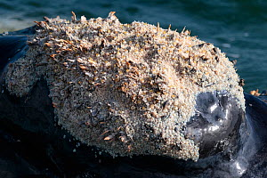 Southern right whale (Eubalaena australis) at surface showing callosity on head with huge number of Whale lice (Cyamus ovalis) amongst other organisms, photographed with the permission of the Departme...  -  Tony Wu