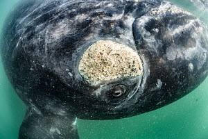 Southern right whale (Eubalaena australis) inquisitive adult approaching to observe diver, note the callosity above the whale�s eye, which is populated by other organisms, including whale lice (Cyamus...  -  Tony Wu