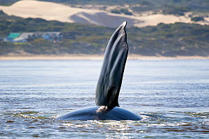 Southern right whale (Eubalaena australis) lifting a pectoral fin out of the water near shore, photographed with the permission of the Department of Environmental Affairs, South Africa, August  -  Tony Wu