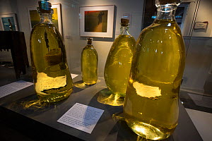 Sperm whale (Physeter macrocephalus) spermaceti in bottles, on display at the Nantucket Whaling Museum, Massachusetts, USA.  This spermaceti was taken from a 46-foot male sperm whale that stranded on...  -  Tony Wu