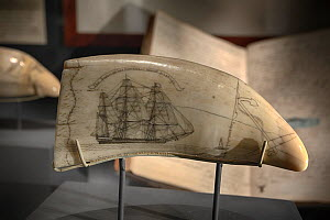 Sperm whale (Physeter macrocephalus) tooth scrimshaw on display at the Nantucket Whaling Museum, Massachusetts, USA  -  Tony Wu