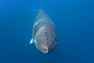 Dwarf minke whale (Balaenoptera acutorostrata) friendly female head on portrait at Lighthouse Bommie, Great Barrier Reef, Australia  -  Tony Wu