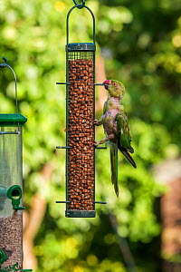 Rose-ringed / Ring-necked  parakeet (Psittacula krameri) on bird feeder, with lots of feathers missing, London, UK. - Georgette Douwma