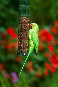 Rose-ringed / Ring-necked parakeet (Psittacula krameri) on bird feeder.  London, UK.  -  Georgette Douwma