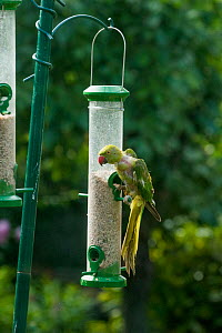 Rose-ringed / Ring-necked  parakeet (Psittacula krameri) which has lost lots of feathers on bird feeder, molting.  London, UK. - Georgette Douwma