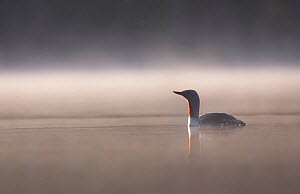Red throated diver (Gavia stellata) on lochan in dawn mist, Cairngorms National Park, Scotland, UK, May.  -  SCOTLAND: The Big Picture