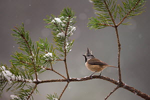 Crested tit (Lophophanes cristatus) perching on snowy Scots pine (Pinus sylvestris), Glenfeshie, Scotland, UK, January. - SCOTLAND: The Big Picture