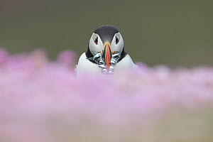Atlantic puffin (fratercula arctica) with Sand eels, amongst thrift, Fair Isle, Shetland, Scotland, UK, July. - SCOTLAND: The Big Picture