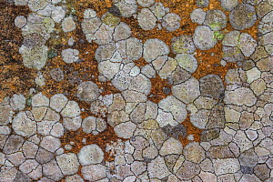 Map lichen (Rhizocarpon geographicum) on gneiss, North Harris, Outer Hebrides, Scotland, April.  -  SCOTLAND: The Big Picture