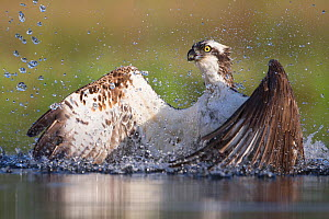 Osprey (Pandion haliaetus) fishing, Rothiemurchus, Cairngorms National Park, Scotland, UK, July. - SCOTLAND: The Big Picture