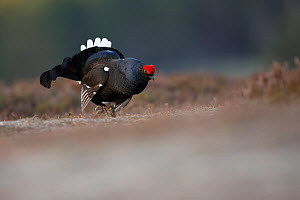 Black grouse (Tetrao tetrix) male displaying at lek site, Deeside, Cairngorms National Park, Scotland, UK, May.  -  SCOTLAND: The Big Picture