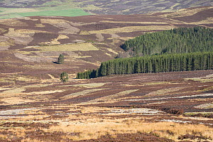 Patchwork of vegetation across grouse moor, Deeside, Cairngorms National Park, Scotland, UK, May 2014.  -  SCOTLAND: The Big Picture