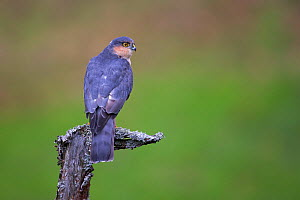 Sparrowhawk (Accipiter nisus) perching on lichen covered snag, Dumfries and Galloway, Scotland, UK, October.  -  SCOTLAND: The Big Picture