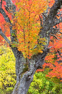 Decaying Silver birch (Betula pendula) surrounded by autumn colour, Scotland, UK, October. - SCOTLAND: The Big Picture