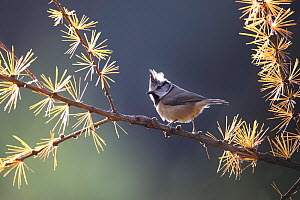 Crested tit (Parus cristatus) perched on autumnal larch, Glenfeshie, Cairngorms National Park, Scotland, UK, November. - SCOTLAND: The Big Picture