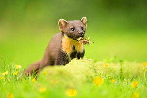Pine marten (Martes martes) with moss in mouth, amongst buttercups, Ardnamurchan, Lochaber, Highland, Scotland, UK, June.  -  SCOTLAND: The Big Picture