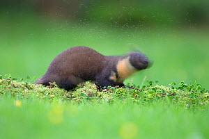 Pine marten (Martes martes) plagued by midges, Ardnamurchan, Lochaber, Highland, Scotland, UK, June.  -  SCOTLAND: The Big Picture