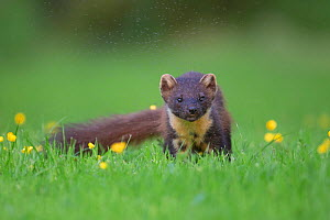 Pine marten (Martes martes) plagued by midges, amongst buttercups, Ardnamurchan, Lochaber, Highland, Scotland, UK, June.  -  SCOTLAND: The Big Picture