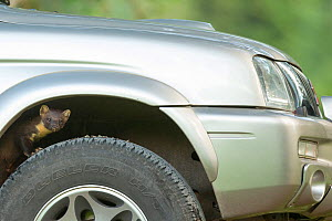 Pine marten (Martes martes) peering out from wheel arch of car, Ardnamurchan, Lochaber, Highland, Scotland, UK, June. - SCOTLAND: The Big Picture