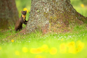 Pine marten (Martes martes) leaning against tree with flowers in foreground, Ardnamurchan, Lochaber, Highland, Scotland, UK, June. - SCOTLAND: The Big Picture