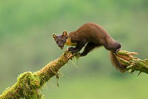 Pine marten (Martes martes) climbing between moss covered branches, Ardnamurchan, Lochaber, Highland, Scotland, UK, June. - SCOTLAND: The Big Picture
