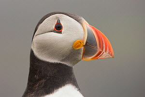 Atlantic puffin (Fratercula arctica) portrait of head, Fair Isle, Shetland, Scotland, UK, July. - SCOTLAND: The Big Picture