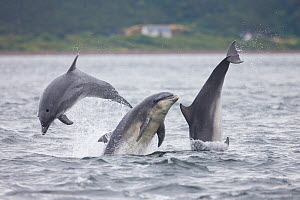 Three Bottlenose dolphins (Tursiops truncatus) breaching, Moray Firth, Scotland, UK, July.  -  SCOTLAND: The Big Picture