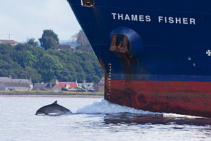 Bottlenose dolphin (Tursiops truncatus) bow riding a ship, Moray Firth, Inverness, Scotland, UK, July 2014.  -  SCOTLAND: The Big Picture