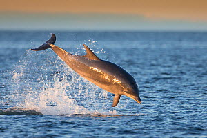 Bottlenose dolphin (Tursiops truncatus) breaching, Moray Firth, Scotland, UK, July. - SCOTLAND: The Big Picture