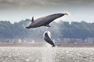 Two Bottlenose dolphins (Tursiops truncatus) breaching, Moray Firth, Scotland, UK, July 2014.  -  SCOTLAND: The Big Picture