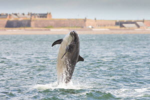 Bottlenose dolphin (Tursiops truncatus) breaching with Fort George in background, Moray Firth, Inverness, Scotland, UK, July 2014.  -  SCOTLAND: The Big Picture