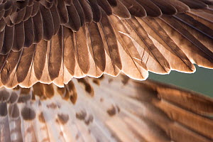 Osprey (Pandion haliaetus) male wing detail, Cairngorms National Park, Scotland, UK, August.  -  SCOTLAND: The Big Picture
