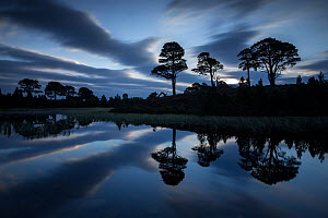 Scots pine (Pinus sylvestris) trees reflected in lochan at dawn, Abernethy National Nature Reserve, Cairngorms National Park, Scotland, UK, September 2014.  -  SCOTLAND: The Big Picture
