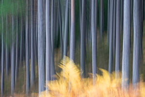 Soft focus Scots pine (Pinus sylvestris) tree trunks in forest, Cairngorms National Park, Scotland, UK, October. - SCOTLAND: The Big Picture