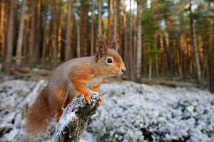 Red squirrel (Sciurus vulgaris) on branch in pine forest, Inshriach, Glenfeshie, Cairngorms National Park, Scotland, UK, December. - SCOTLAND: The Big Picture