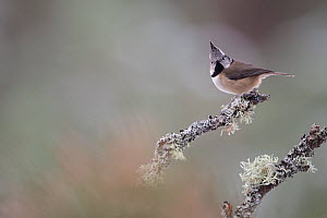 Crested tit (Lophophanes cristatus) perching on lichen covered branch, Glenfeshie, Cairngorms National Park, Scotland, UK, January. - SCOTLAND: The Big Picture