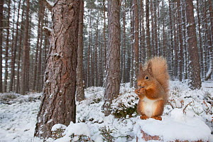 Red squirrel (Sciurus vulgaris) feeding in snowy Scots pine (Pinus sylvestris) forest, Cairngorms National Park, Scotland, UK, January. - SCOTLAND: The Big Picture